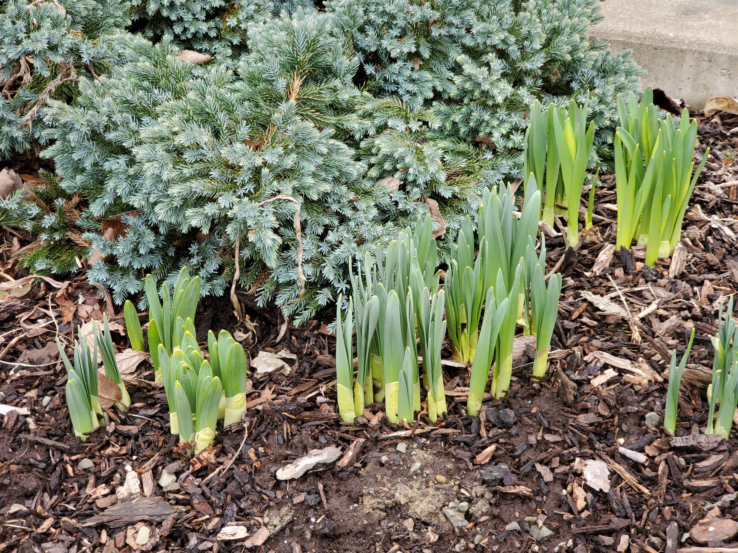 green flower shoots coming  up in spring