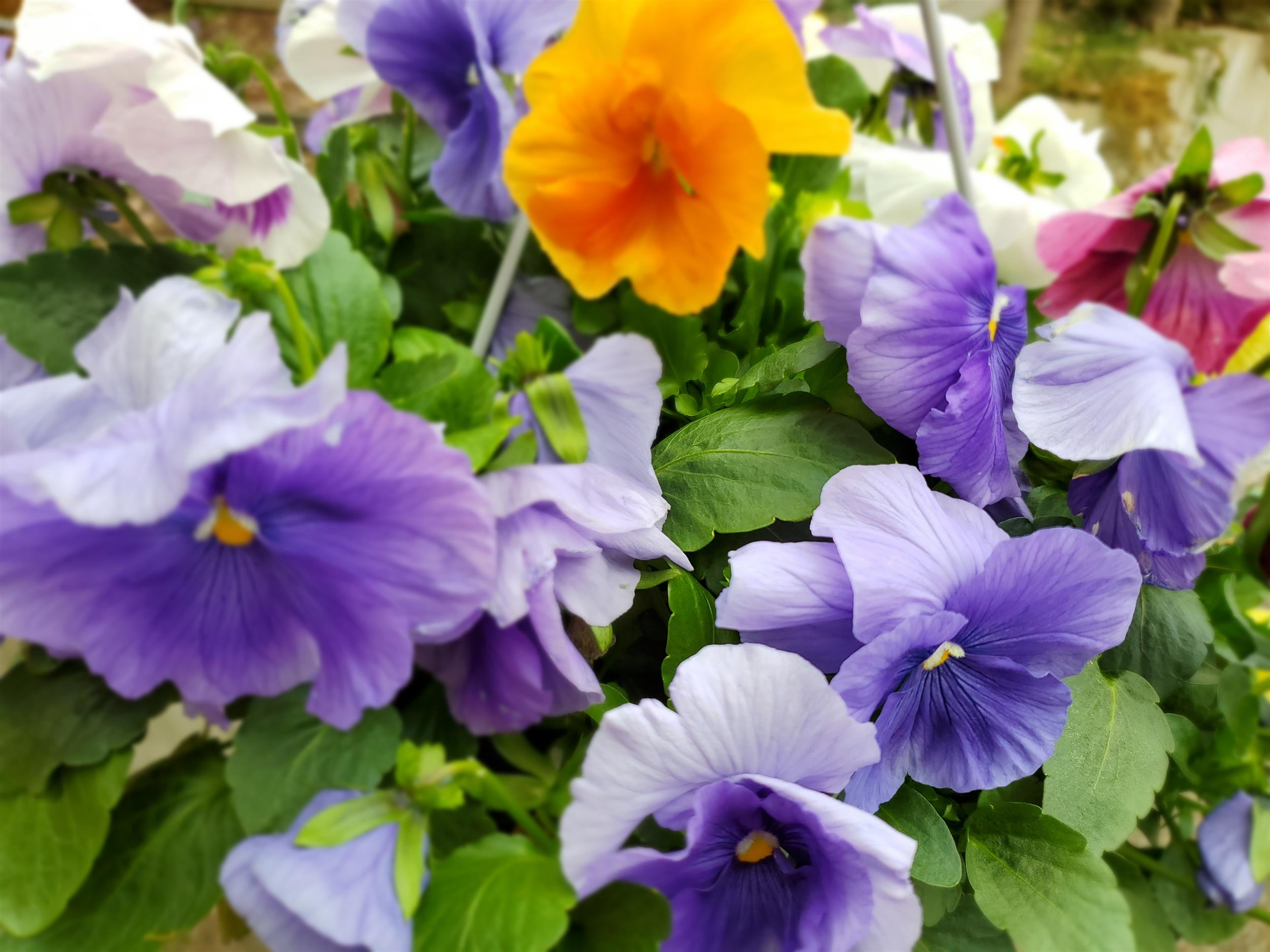 Purple white and a yellow pansy flower basket